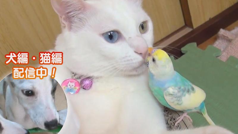 猫編(23)いつも一緒!仲良しすぎる2匹の生活 他