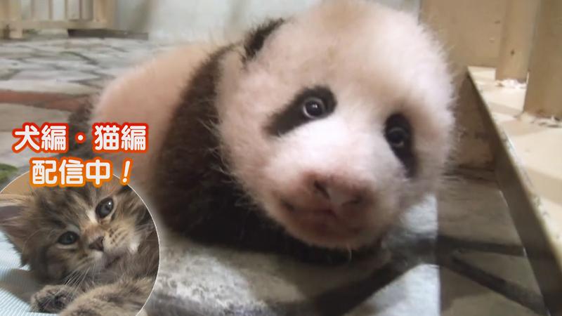 特別編(1)パンダの赤ちゃん成長物語~初めて歩く日~ 他